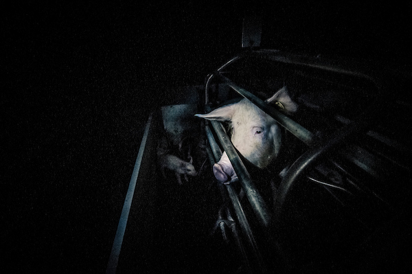pig intensive farm-25.jpg