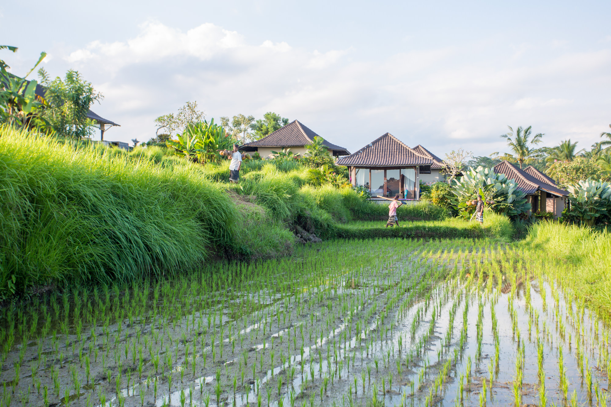 Surrounding Rice-Fields.jpg