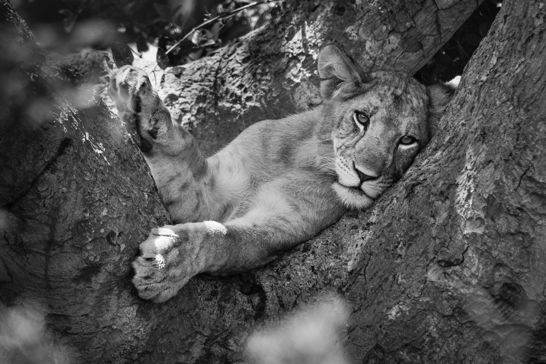 Treeclimbing lions - Tanzania
