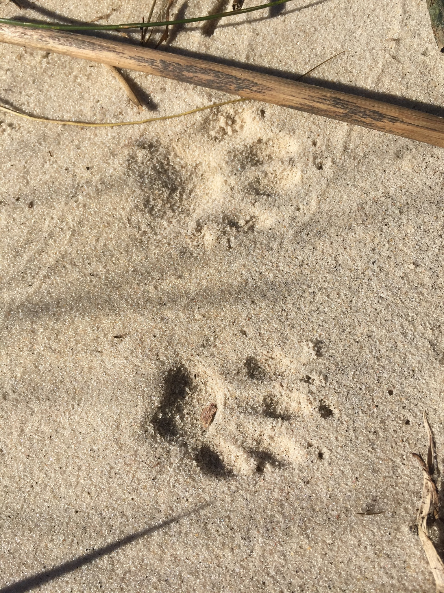 Who left these tracks by the river?