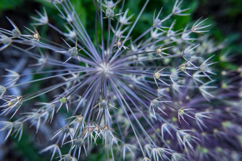 Allium Fireworks Linda Wyatt Photography
