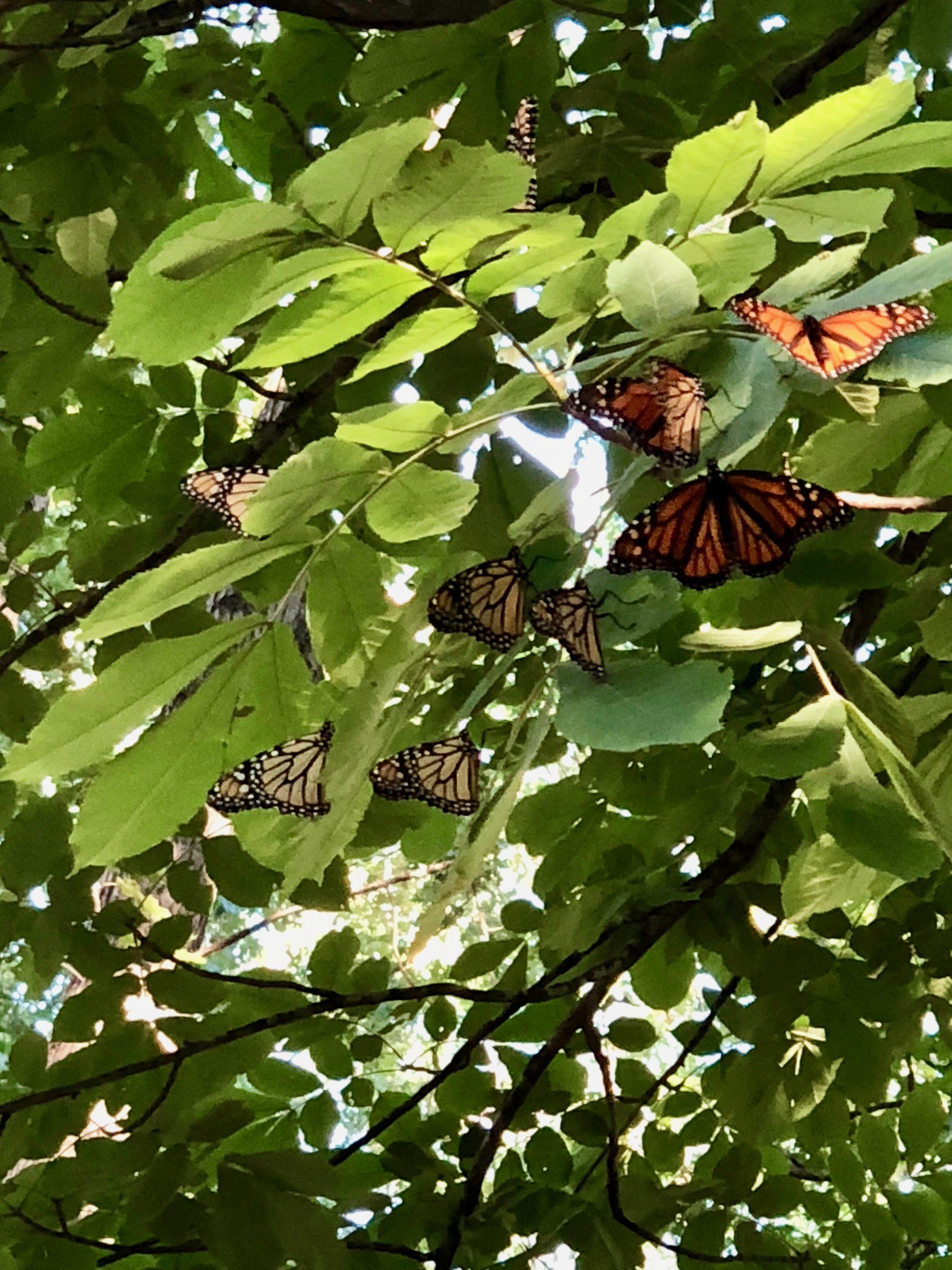 Monarch Migration | @beesandbubbles