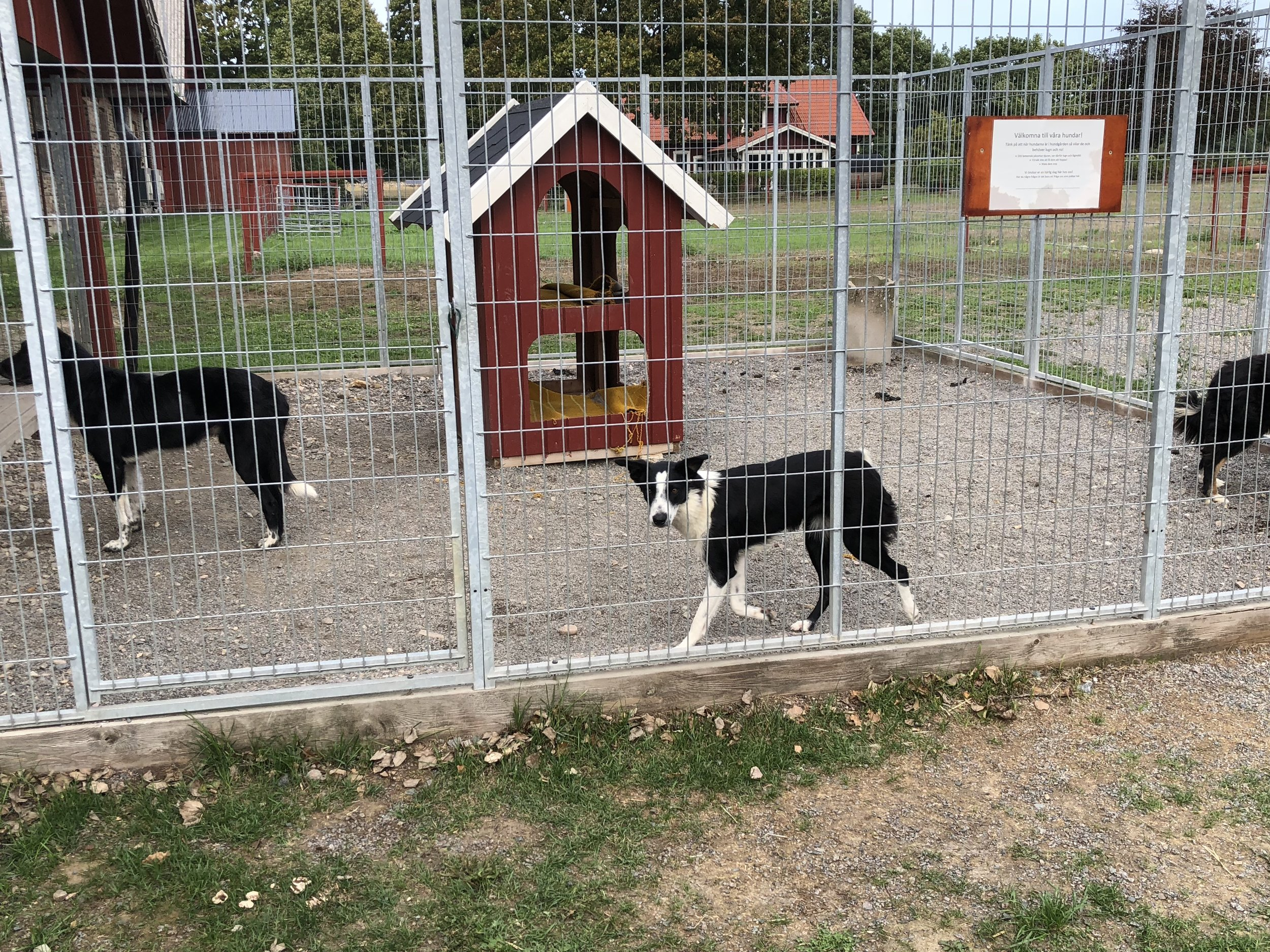 Probably the coolest thing here was the border collies, whom we saw out in the fields, herding the sheep