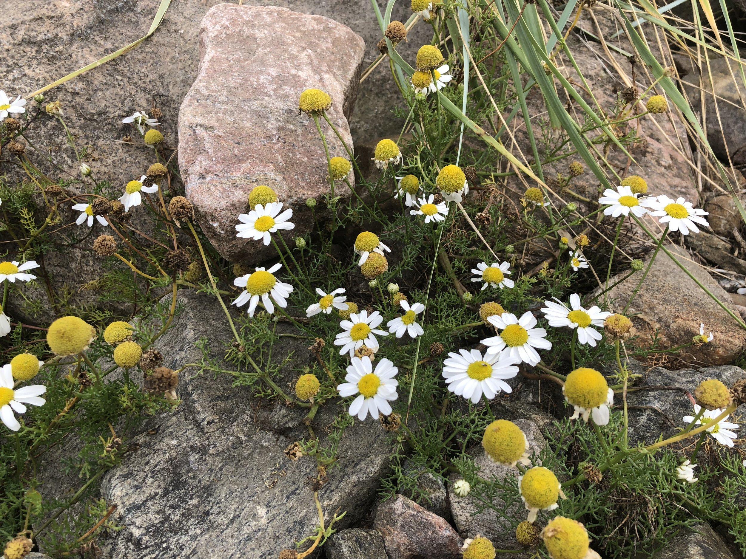 Swedish wildflowers