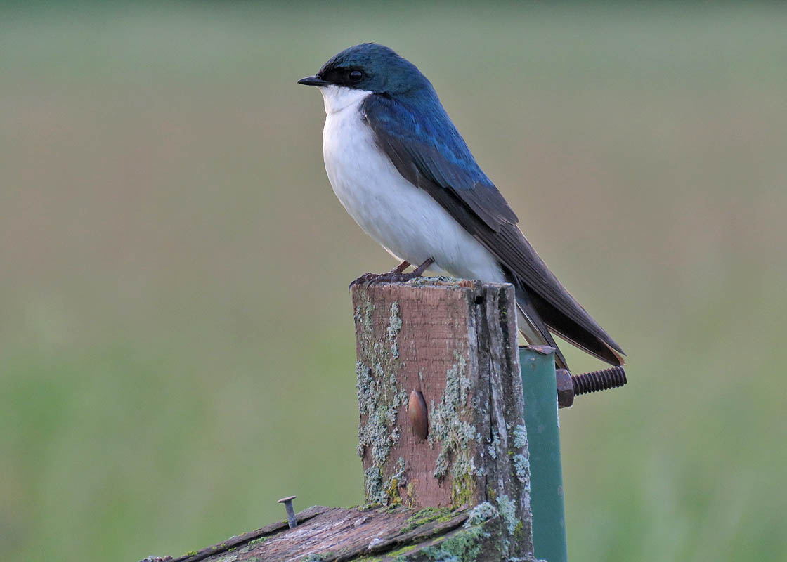 Tree Swallow are acrobatic, brave birds that love to eat lots of insects.