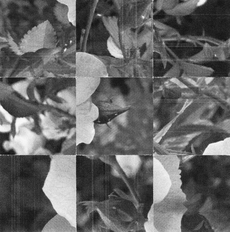 Square_Collages_Rosebush_Crop&Trim.png
