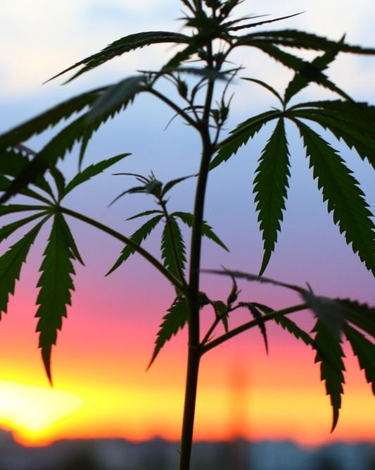 Cannabis+plant.jpg