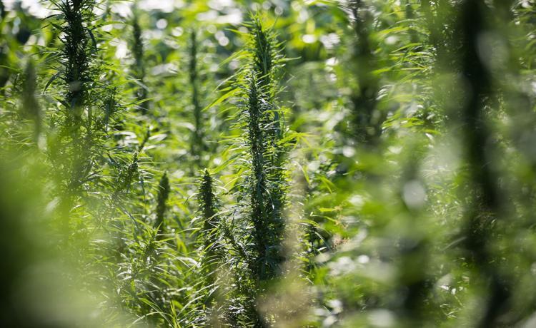 Nebraska opens licensing process for would-be hemp farmers, processors (6/19)