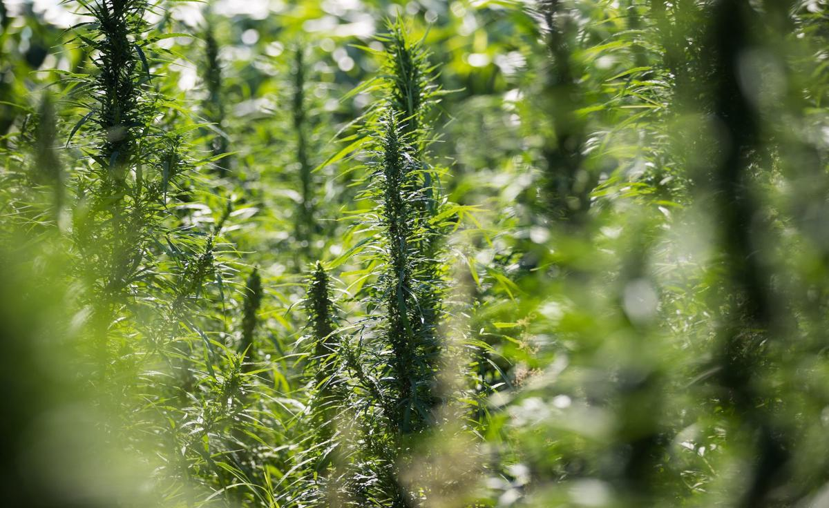 12-18 hemp farmers wary but hopeful.jpg