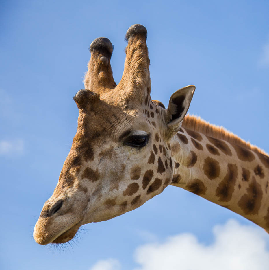 The head of a Rothschild Giraffe against a blue sky