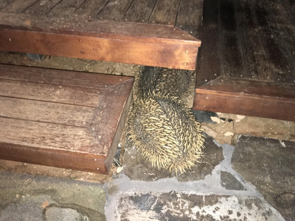 A prickly visitor to a Prominda home