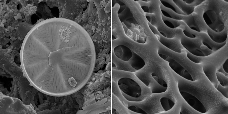 Studying diatoms (unicellular algae whose cell walls are made up of silica, like the one on the left) and the sand dollar on the right helped me define my aesthetic choices and also refine the conceptual implications of the forms I was choosing to make.