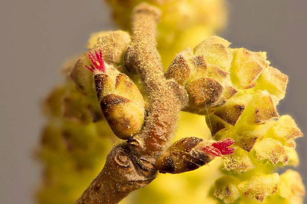 Blommande hasselhängen Bild av Thomas Gunnarsson/ SLU