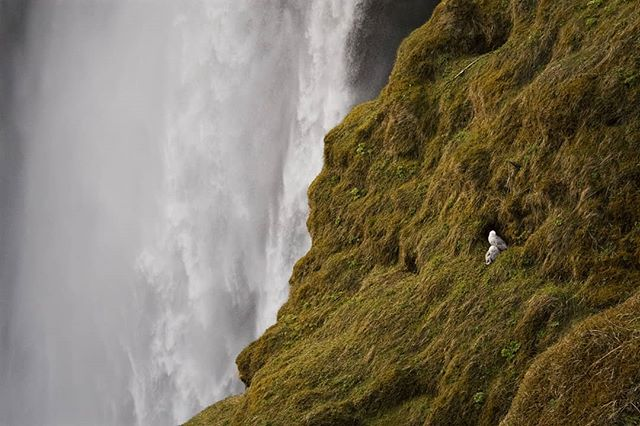 Fulmars at Skógafoss.