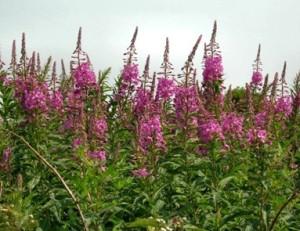 Willow Herb or Rosebay Willow Herb - Willow Herb or Rosebay Willow Herb.