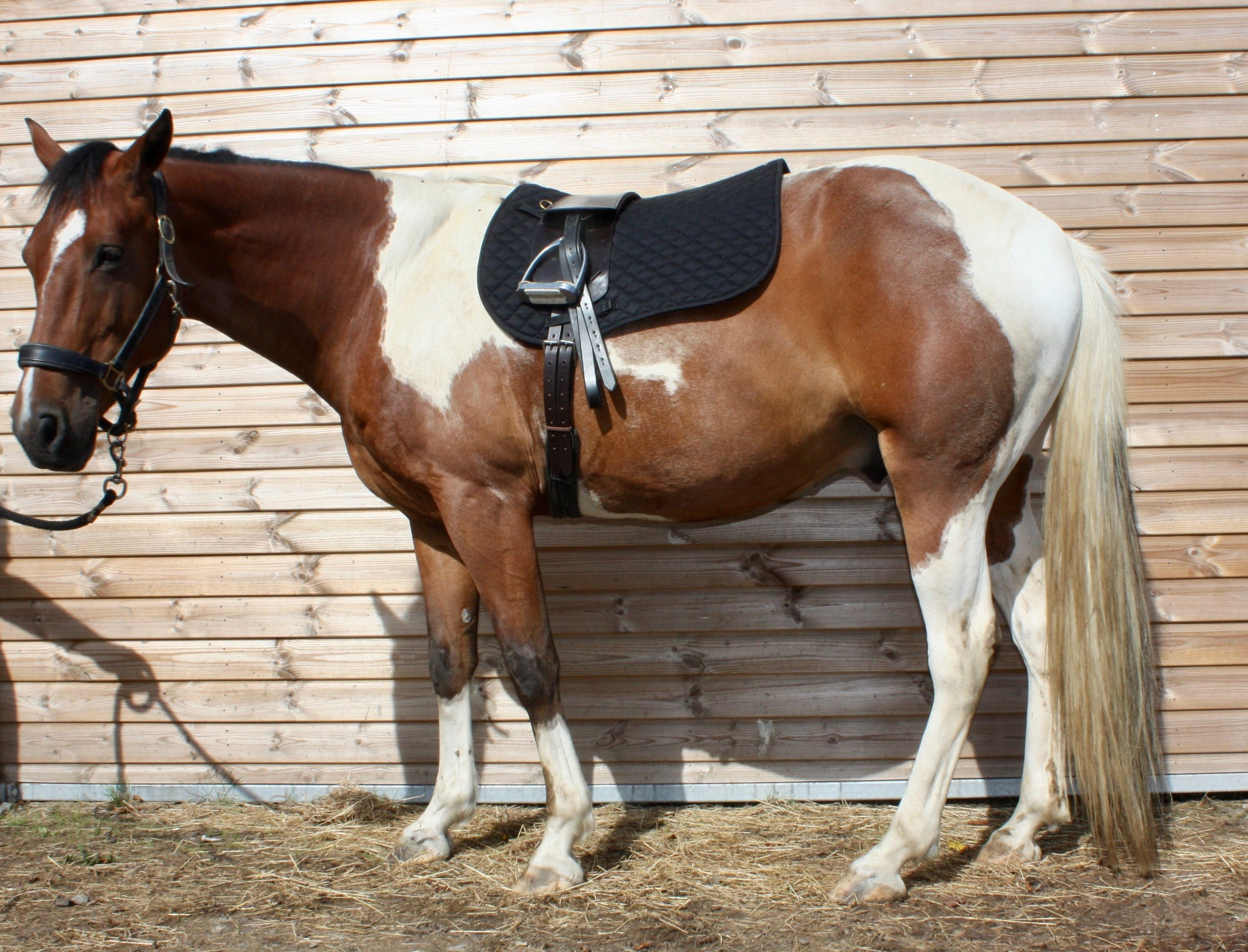 Chiron Horse sporting the Havana Brown Total Contact Saddle with long straps