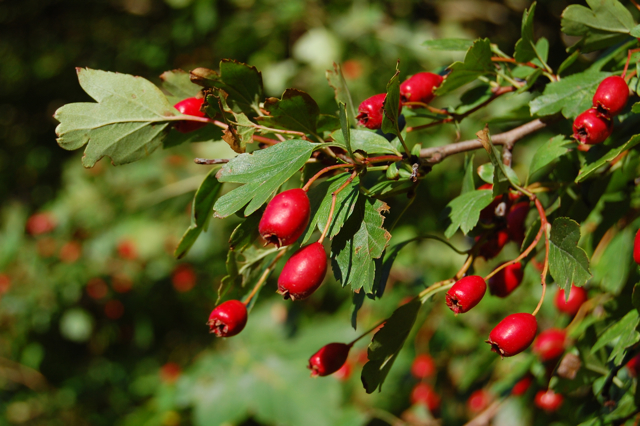 - The most wonderful Hawthorn. So many legends and medicinal uses