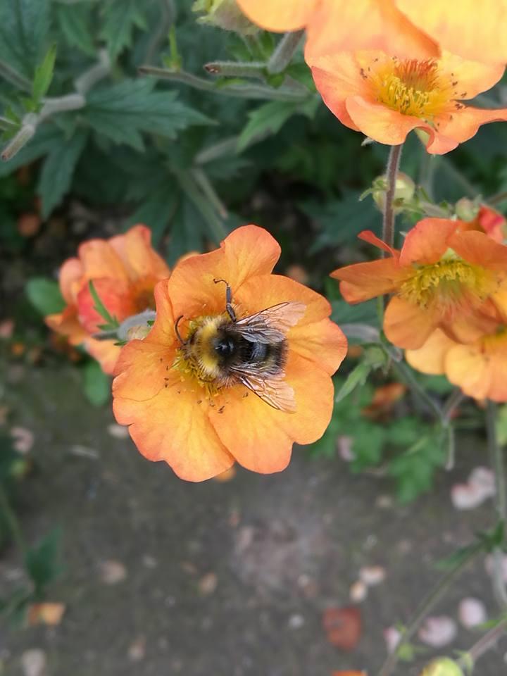 Bee on geum.jpg