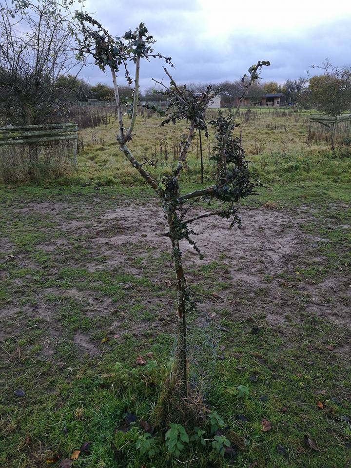 A lone hawthorn tree on the track system. The horses don't pay it much attention - could it be a Faerie Tree ?