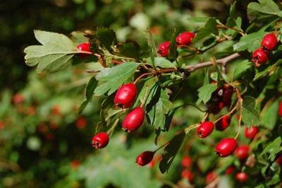 hawthorn-berries.jpg