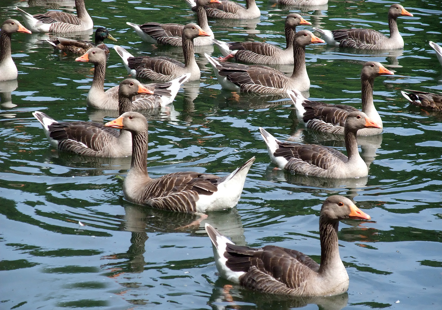 Greylag geese at the Mere (to order photos ring 353597)