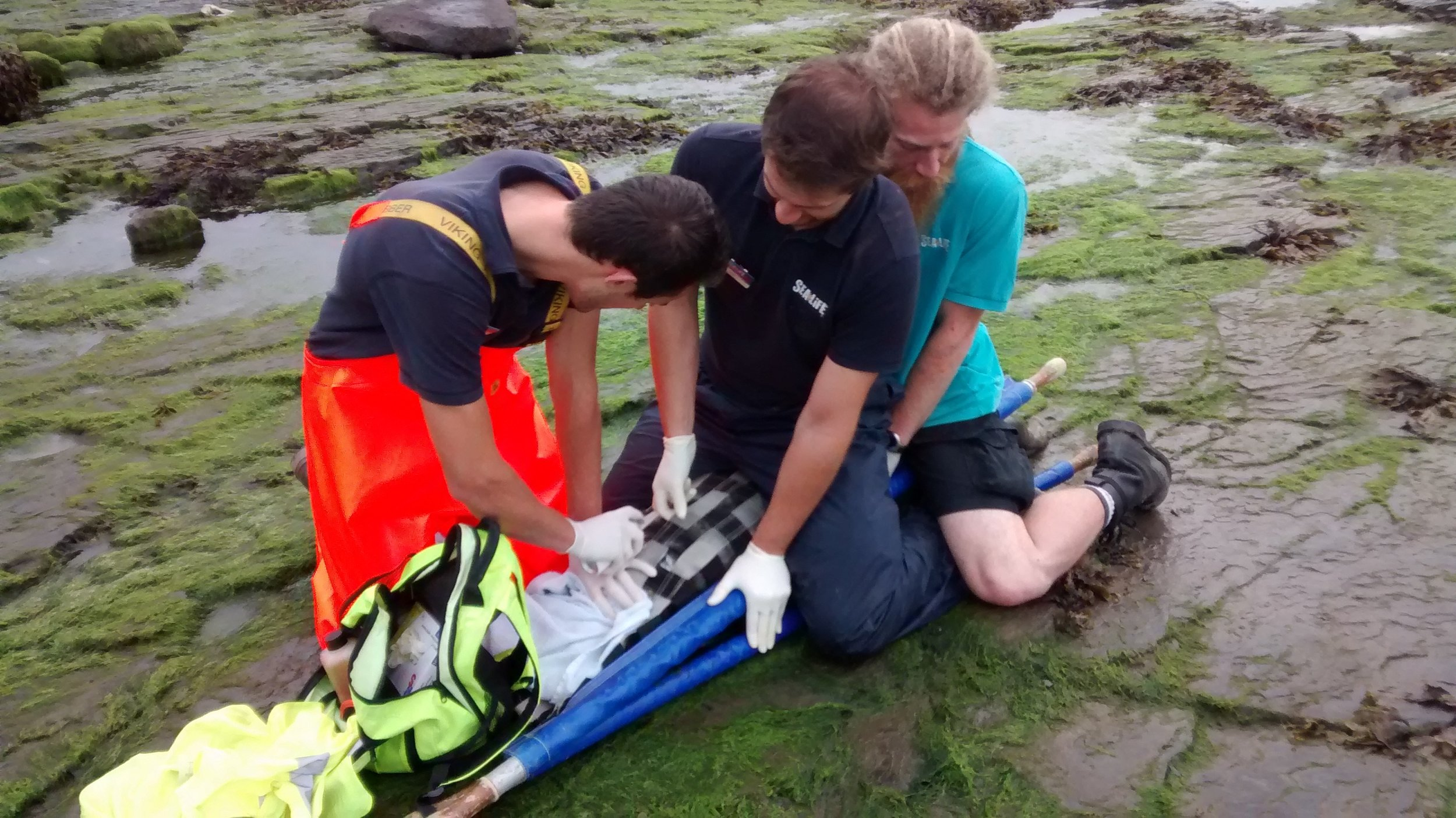 The large injured seal was secured in a stretcher for the operation. photo: rspca
