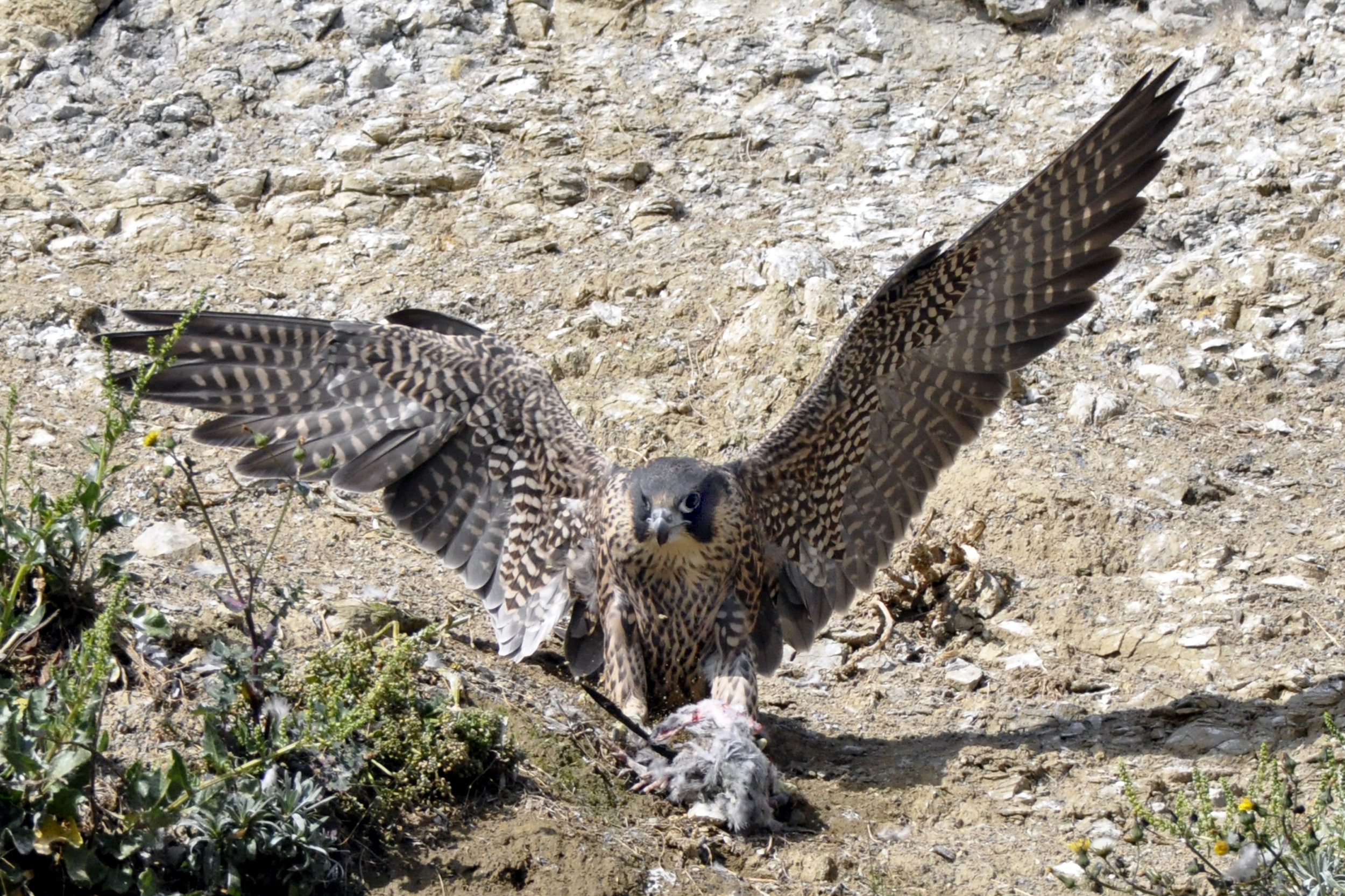A peregrine falcon on Scarborough cliffs