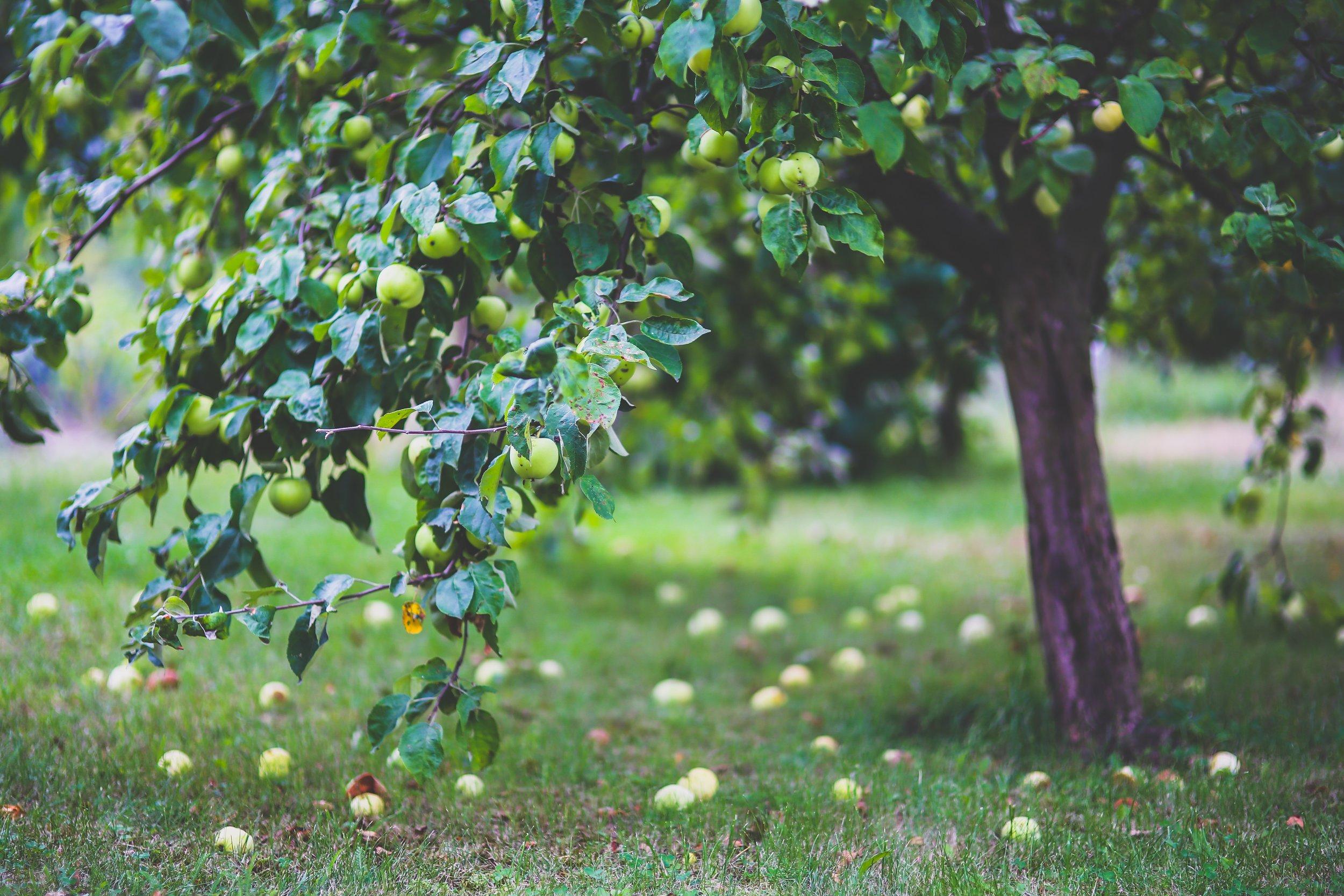 apple-apple-tree-apples-6035.jpg