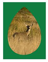 deer sm.png