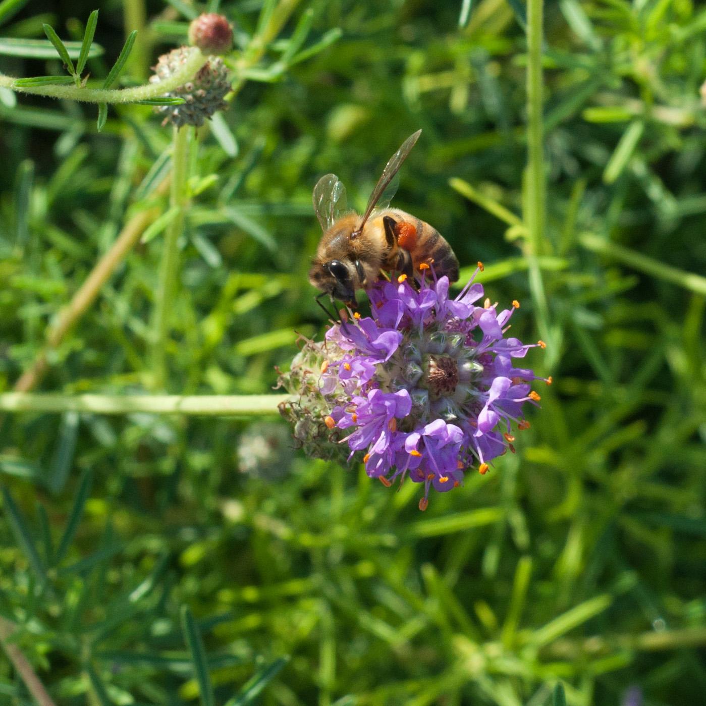 Purple Prairie Clover,ts-45.jpg