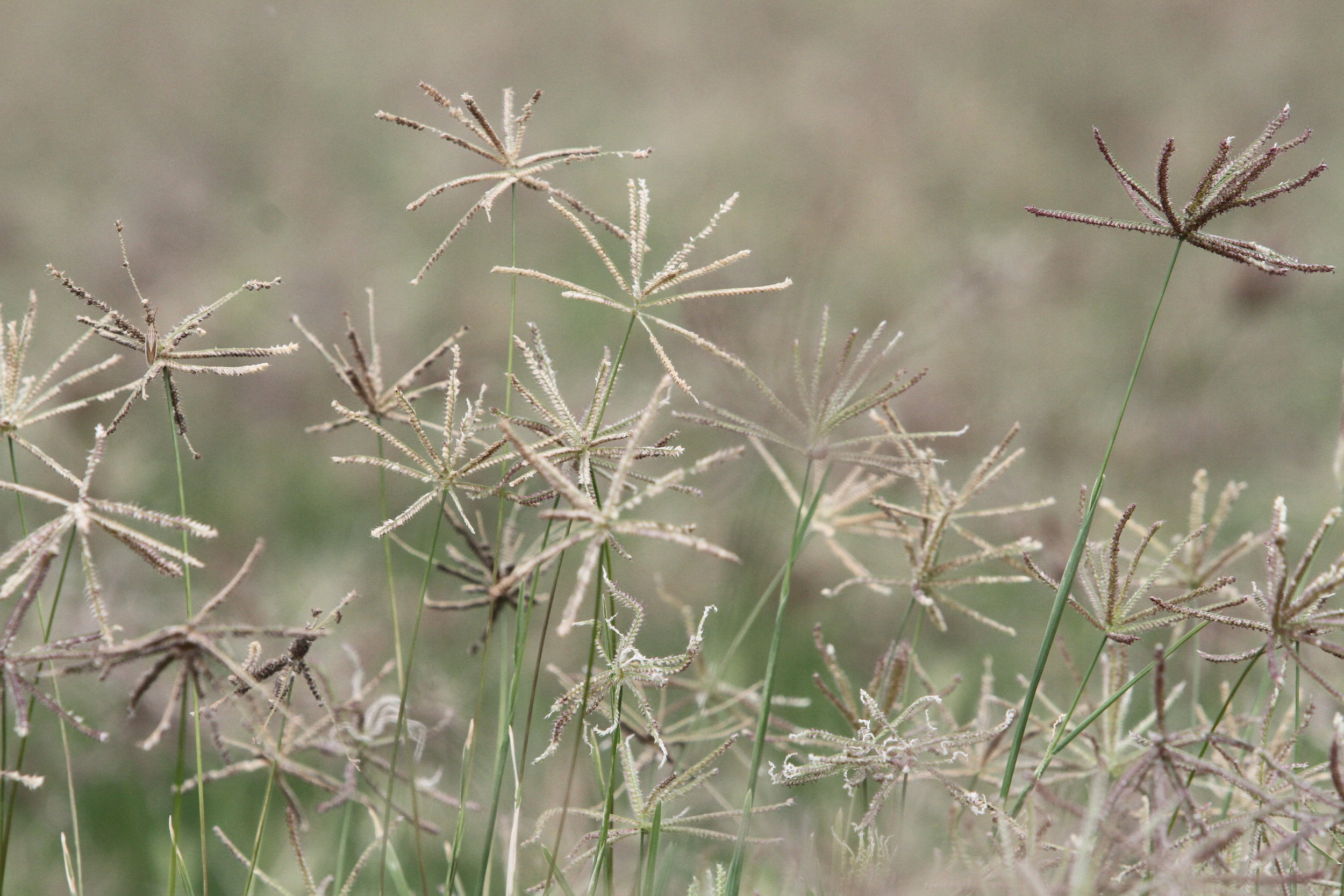 Mariah Hooded Windmillgrass