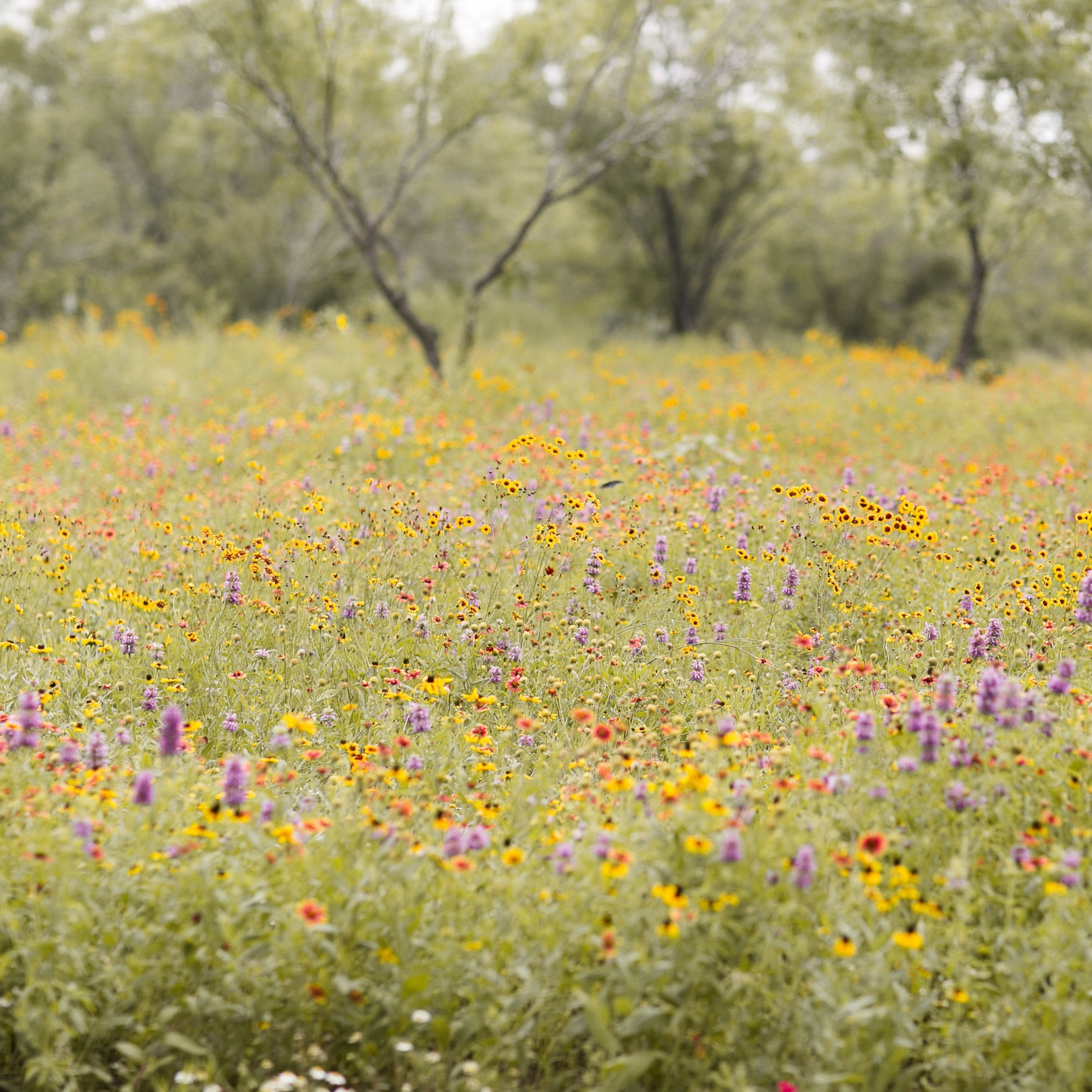 King's Wildflower Mix    Photo Courtesy of Kimberly Wilems