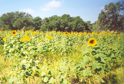 Peredovik Sunflowers