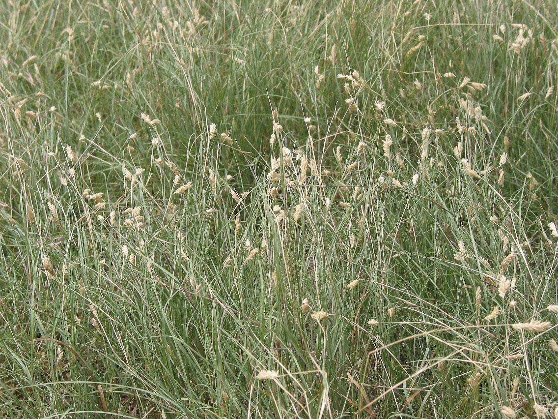 Flowering Buffalo Grass