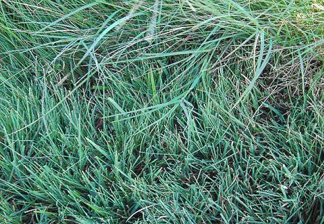 Blue Buffalo Grass