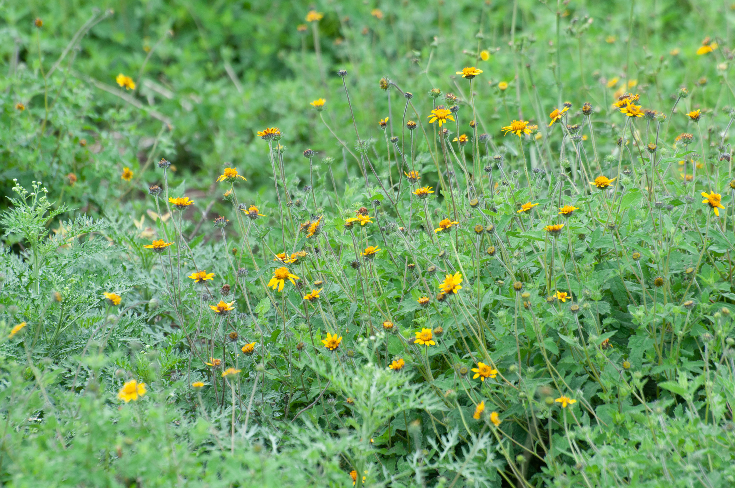 Venado Awnless Sunflower Bush