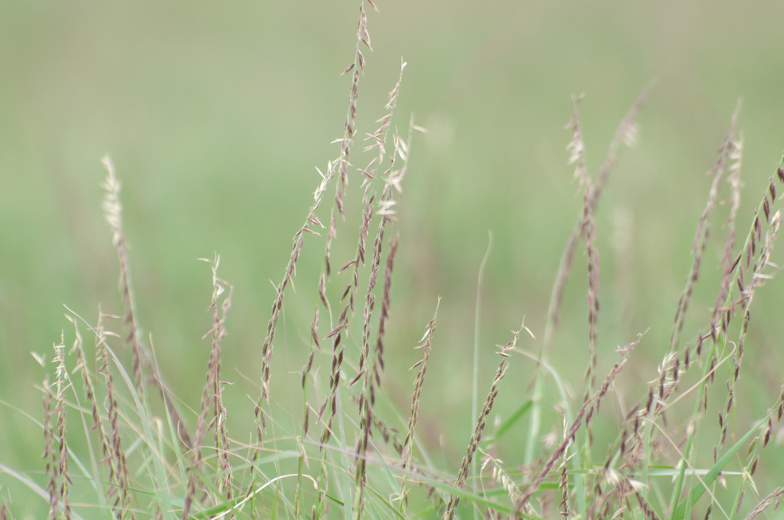 South Texas Sideoats Grama