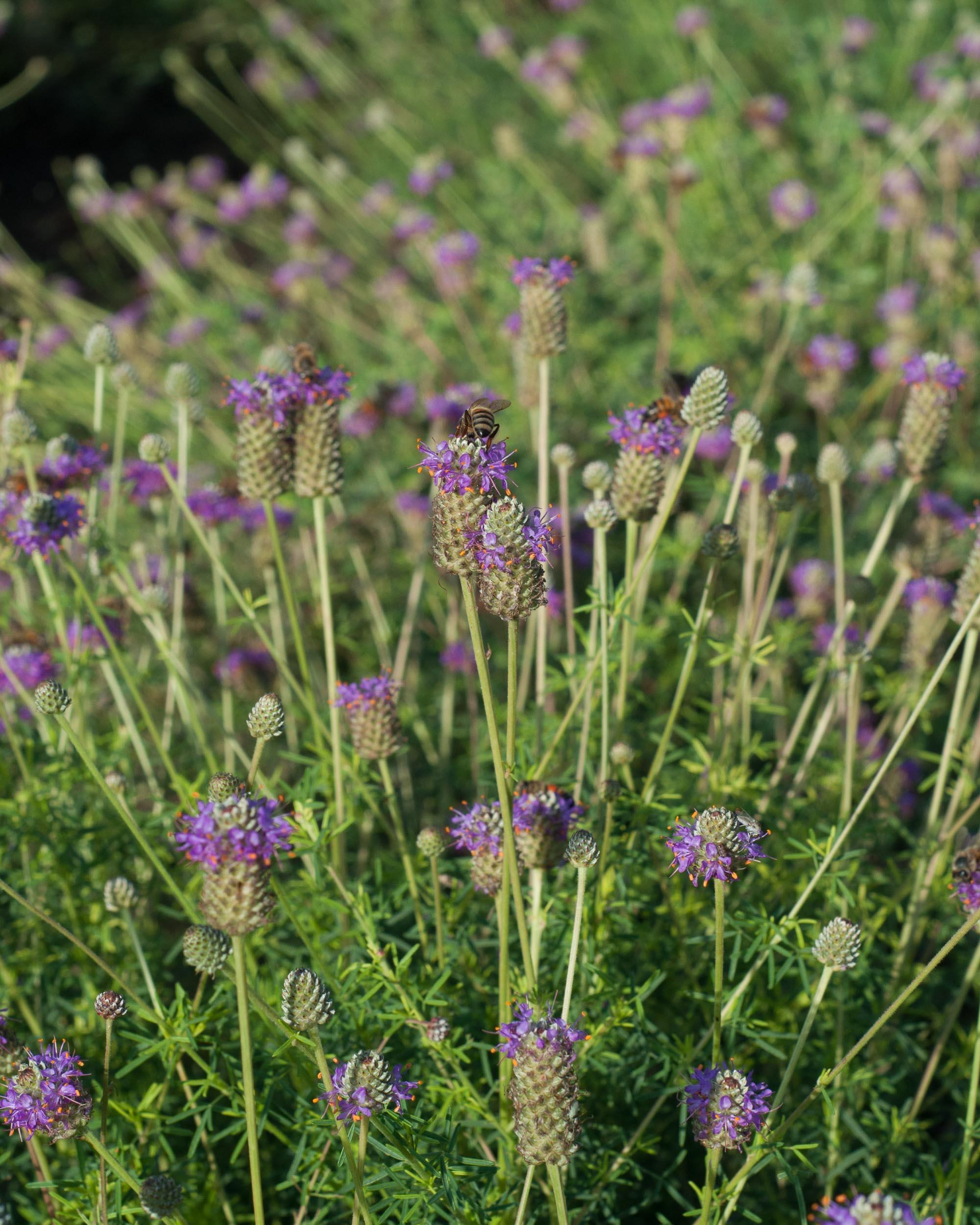 Cuero Purple Prairie Clover