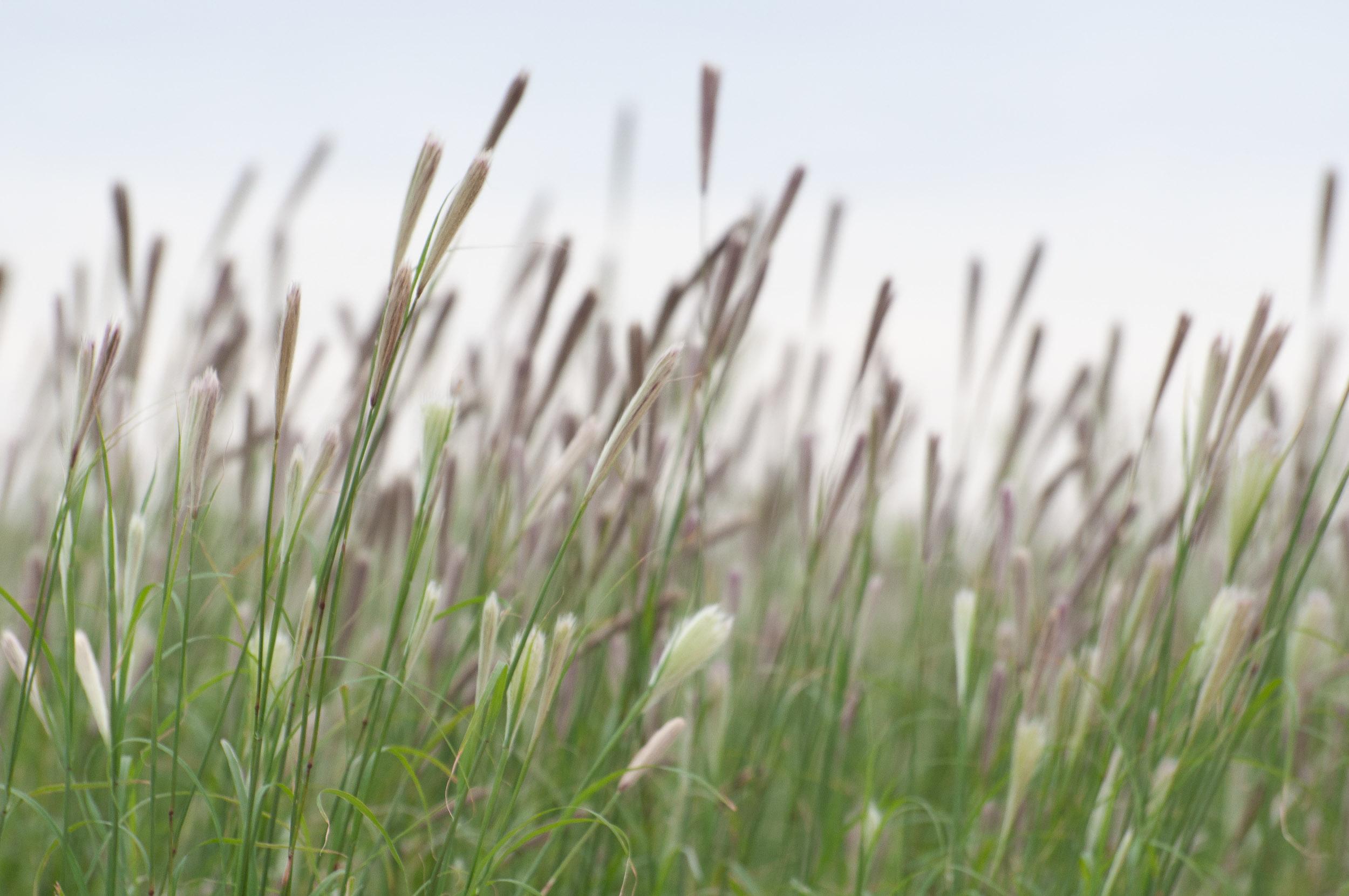 Kinney False Rhodesgrass