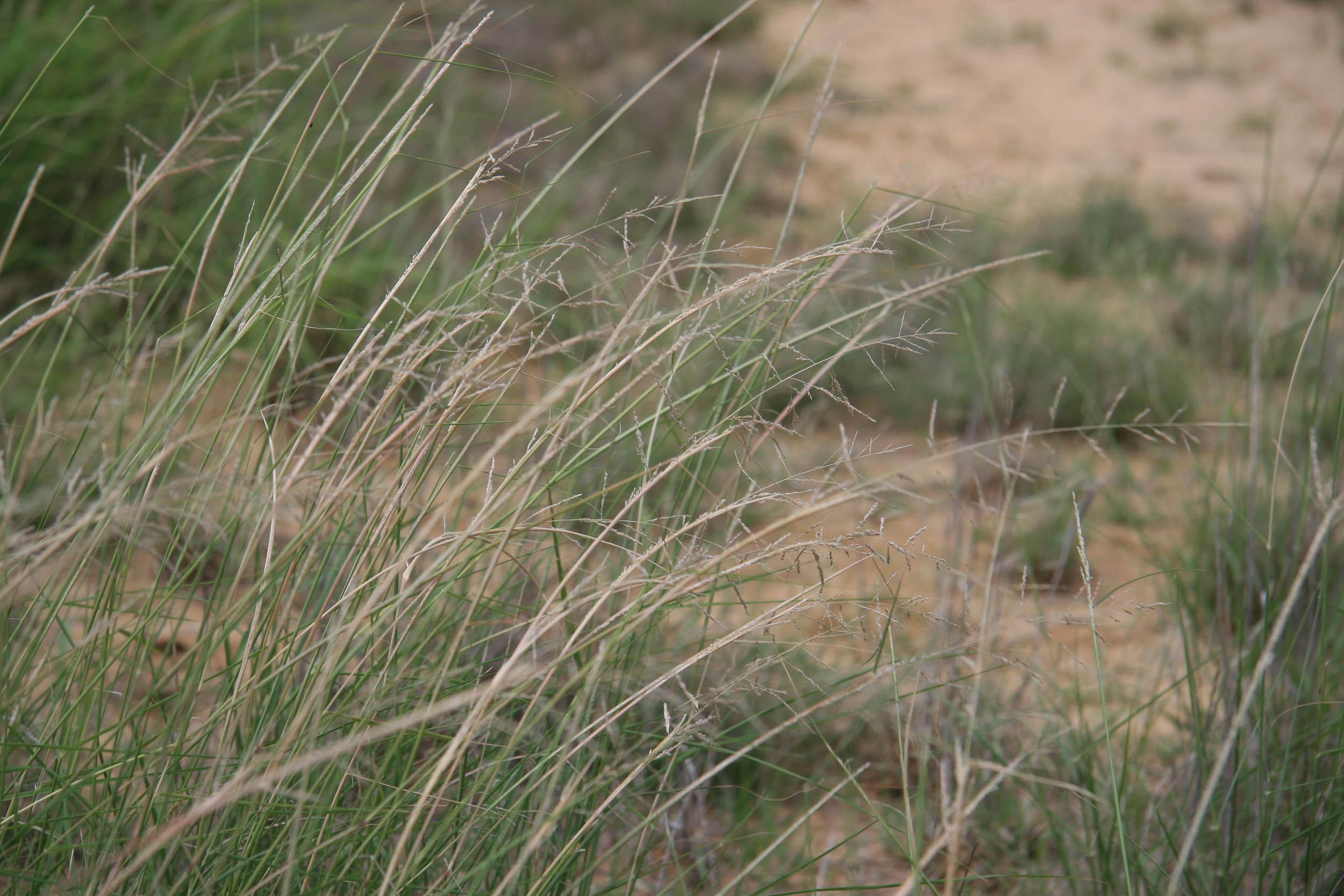 Sand Dropseed