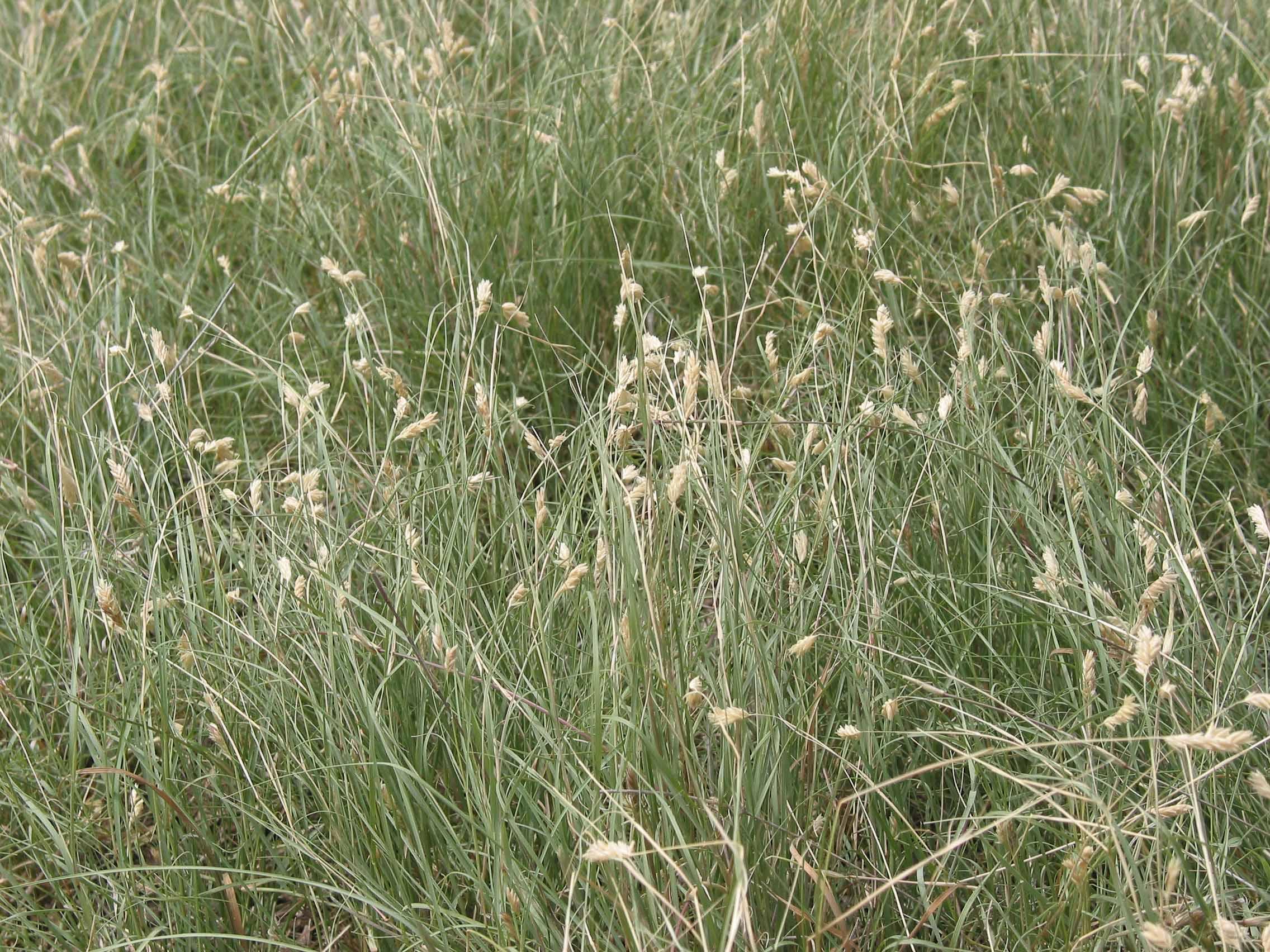 Buffalograss
