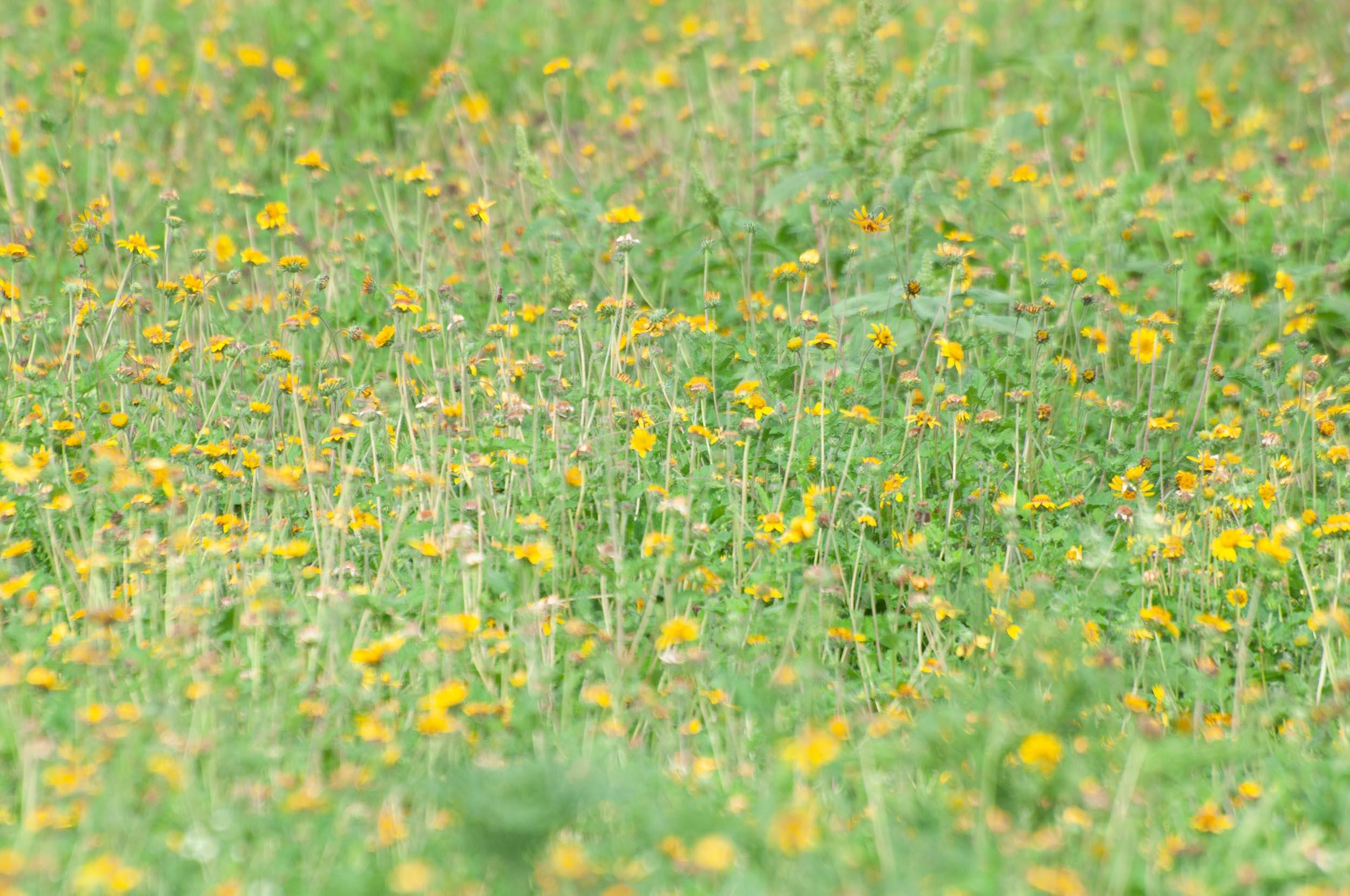 Venado Awnless Bushsunflower