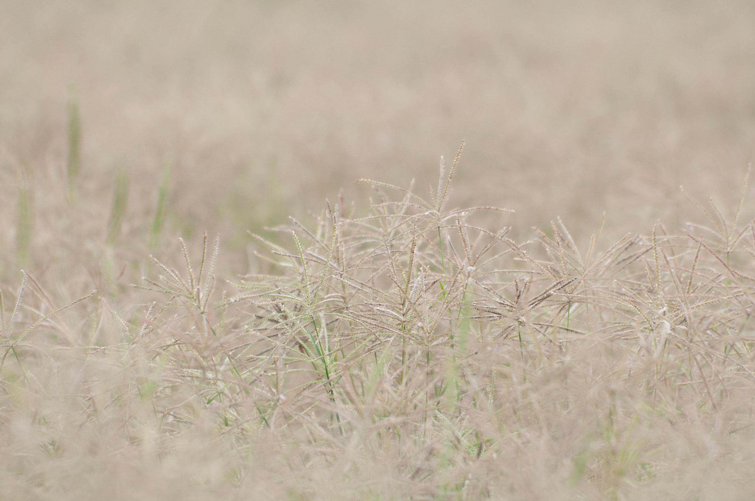 Welder Shortspike Windmillgrass