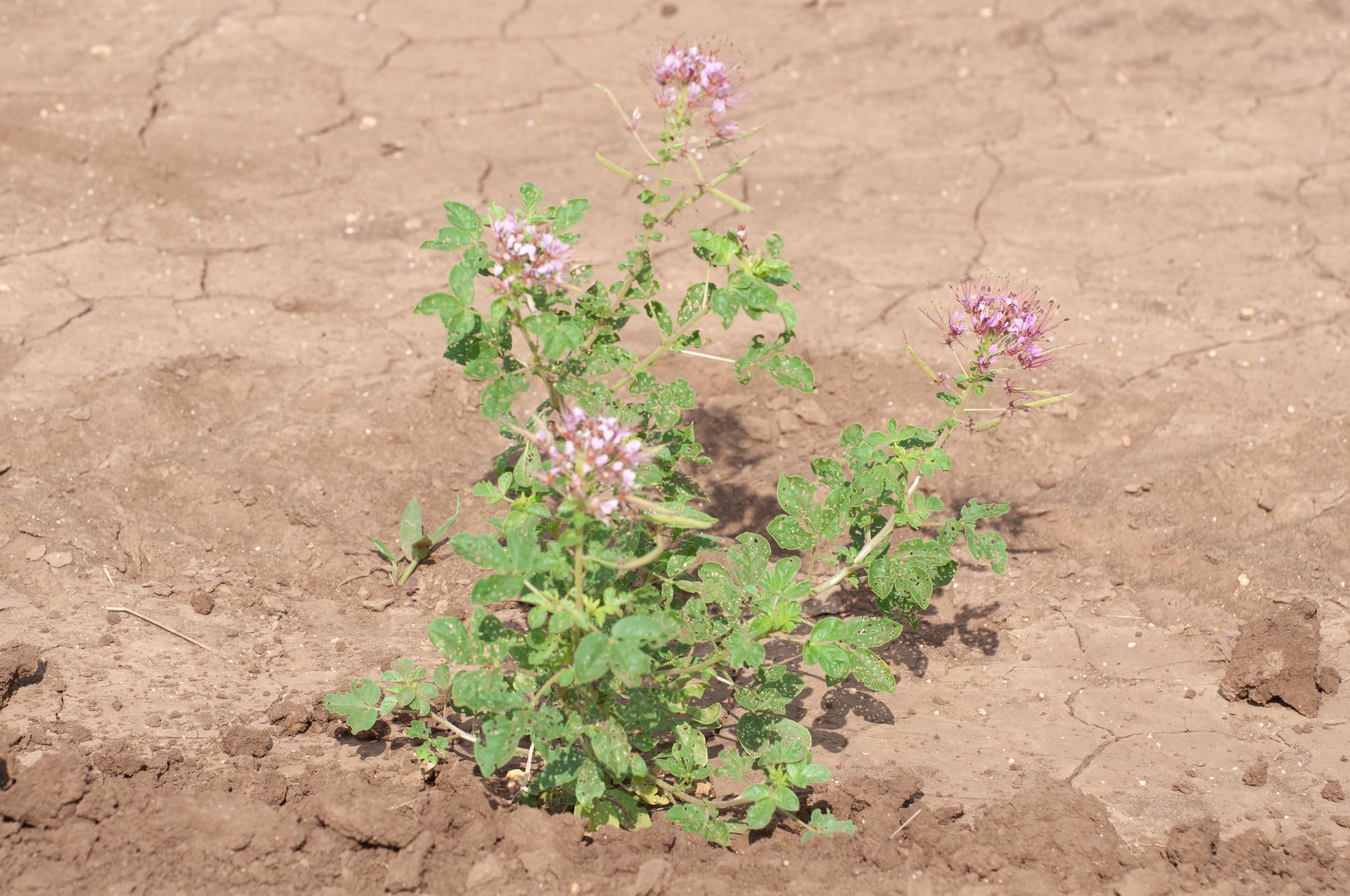 Zapata Rio Grande clammyweed