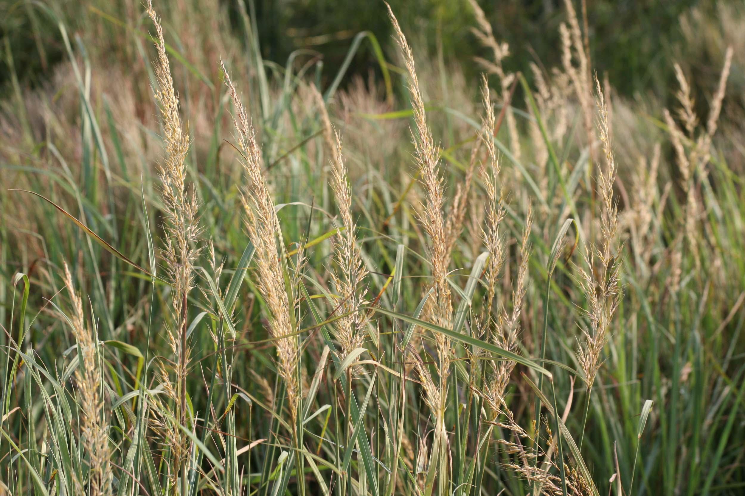 Wilson Indiangrass