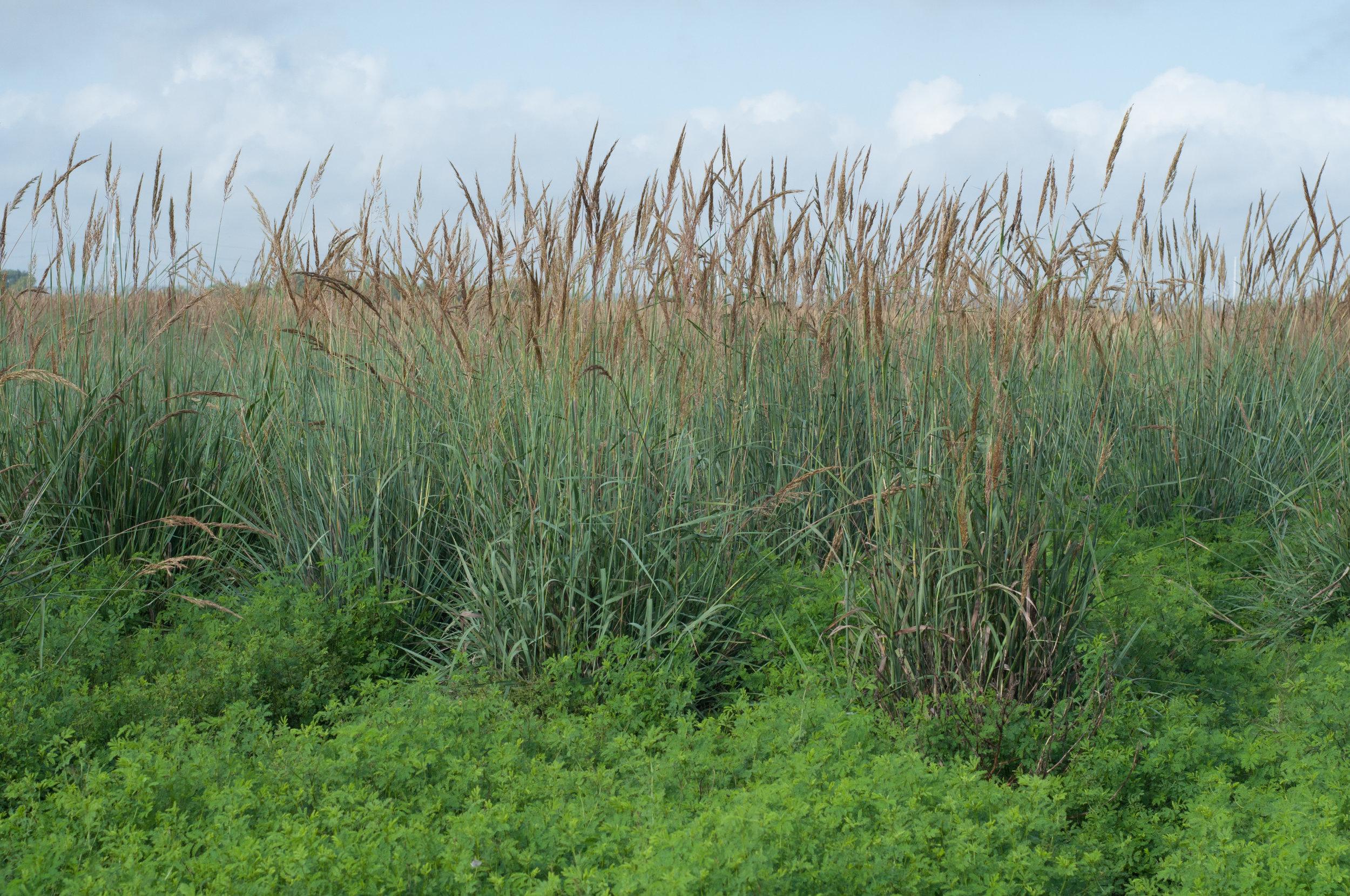 Lometa Indiangrass