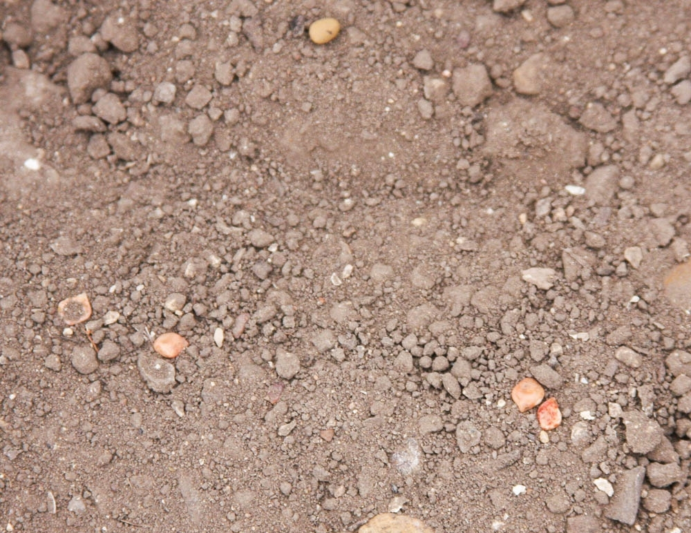 Seeds left on the soil surface runs the risk of drying out or being eaten. Make sure your seed is lightly covered with soil. Photo by Dr. Jerry Parsons.