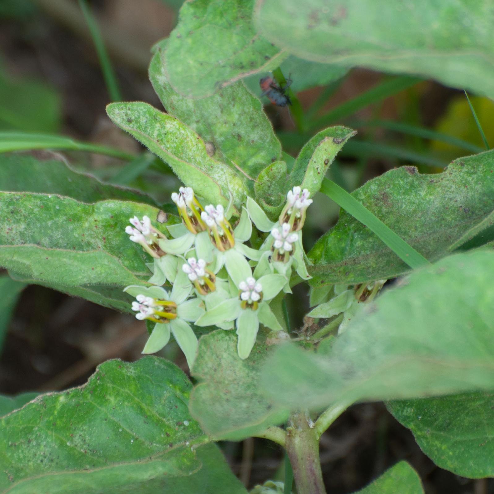 Mariposa Zizotes Milkweed