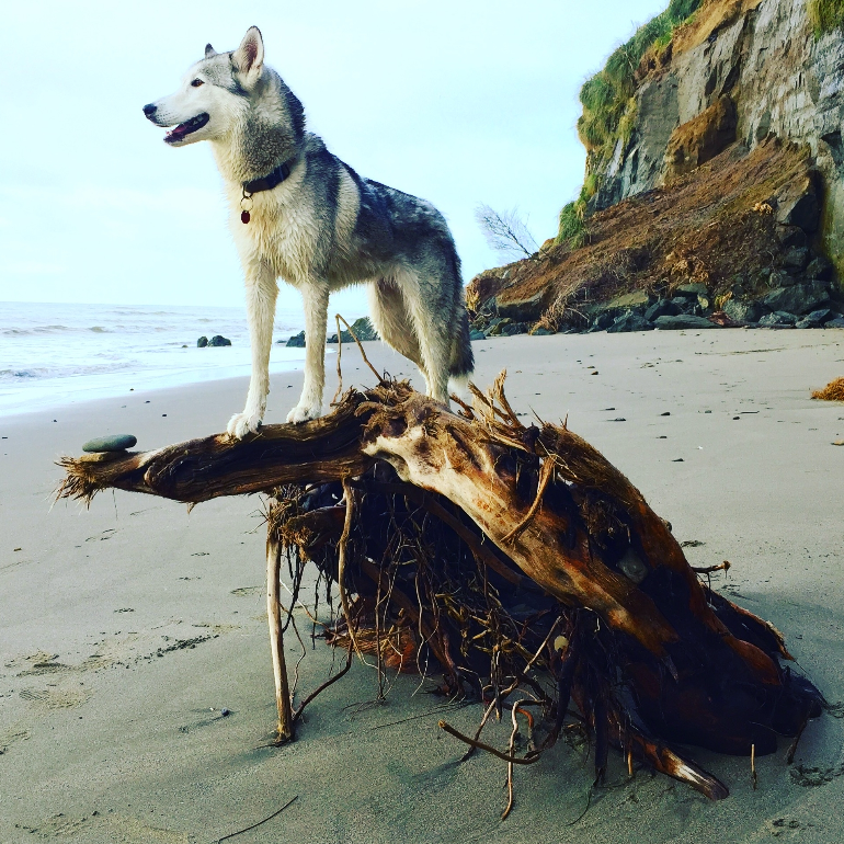 Queen Bee...Roscoe likes to shed in the office and shred at the beach. Before becoming a husky-wolf hybrid she was certainly a Jedi-Master in a previous life.