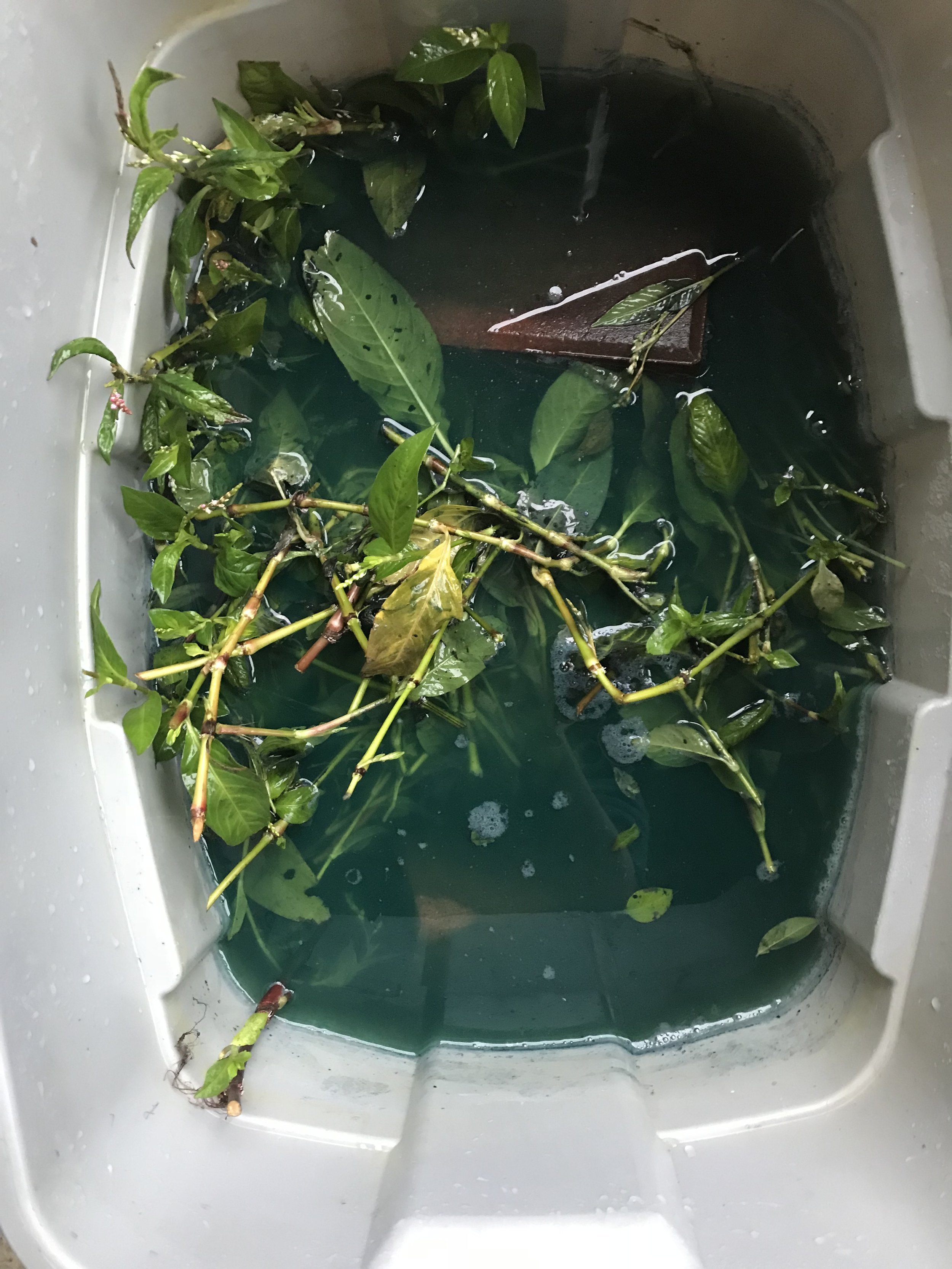 Then take a large bucket or tub, and place all leaves (remove all flowers and seeds) inside and add water to a few inches above the leaves.